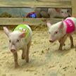Поросячьи бега и конкурс по квашению капусты: необычный сельский праздник прошёл под Полоцком