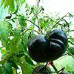 Белоруска вырастила 700 видов помидоров на одном приусадебном участке