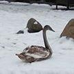 Раненого лебедя спасли сотрудники ГАИ в Минске