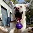 Девушка запечатлела на фото, как ее собака ловит мяч – снимок рассмешил Сеть
