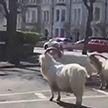Дикие козы захватили город в английском Уэльсе