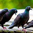 В Солигорске 20-летний парень из мести учинил массовое убийство голубей