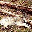 Волк застрелен: накануне он покусал трёх женщин, пытался напасть на лошадь и собаку