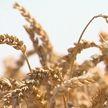 Массовая уборка зерновых идет в Брестской области