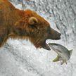 Медведь зашел на рыбный завод и распугал сотрудников (ВИДЕО)
