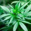 Наркоконтроль выявил лабораторию по выращиванию марихуаны в Столбцовском районе