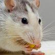 Большая стая крыс напала на женщину в Лондоне