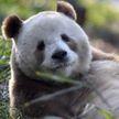 Редкая коричневая панда живет в исследовательском центре в Китае