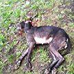 По следам собаки, которая напала на людей. На теле обнаружены шрамы. Возможно, её использовали для потравки, тренировали на ней других бойцов