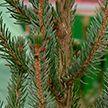 Новогодние ели: где и какие деревья можно приобрести в преддверии праздника?