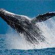 В Индийском океане обнаружили ранее неизвестную популяцию вымирающих синих китов