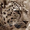 Леопард забрался в жилой дом, ранил пять человек и убил девочку