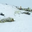 На Чукотке из-за глобального потепления застряли около 60 белых медведей