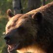 Следы бурого медведя впервые за 16 лет заметили в Беловежской пуще