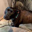 Собака научилась кукарекать, как петух, и рассмешила соцсети