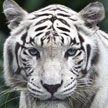 У бенгальского тигра в Минском зоопарке появилась невеста