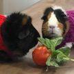 Маленькие вязаные свитера для морских свинок и кроликов попросили прислать ветврачи из Англии