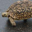 Черепаха сбежала из-под носа гиеновидной собаки и насмешила туристов (ВИДЕО)
