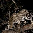 Леопард в Индии проучил мотоциклиста, не уступившего ему дорогу (ВИДЕО)