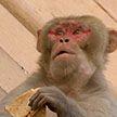 Отбирают еду и выключают свет: банды обезьян захватили правительственные здания в Индии