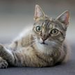 Кот не умеет брать ветчину из рук и отлупил за это хозяйку (ВИДЕО)