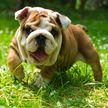 Даже собаки любят подслушивать: бульдоги с любопытством наблюдали за разборками соседей и рассмешили Сеть