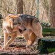 Волк напал на людей в Пинском районе