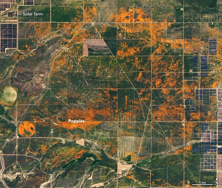 Полевые оранжевые маки в Калифорнии расцвели так ярко, что их видно из космоса.